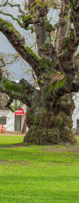 Spier ,s Old Oak Tree